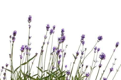 Lavender - Plant「Lavender」:スマホ壁紙(9)