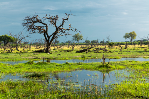 Okavango Delta「Dead trees in a swamp on the Okavango Delta」:スマホ壁紙(8)
