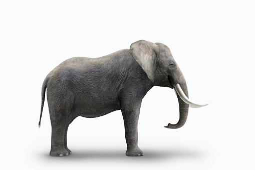 Elephant「Elephant standing on white background」:スマホ壁紙(19)