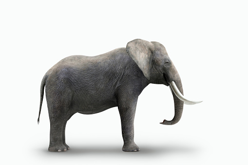 象「Elephant standing on white background」:スマホ壁紙(3)