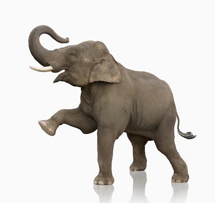 Elephant「Elephant Standing On White Lifting One Leg」:スマホ壁紙(1)