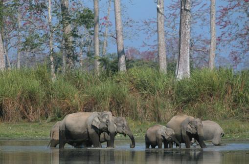 Shallow「Group of indian elephants (Elephas maximus) in water, Kazaringan N.P, India」:スマホ壁紙(4)