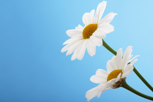 Blue Background「Marguerites, Argyranthemum frutescens」:スマホ壁紙(13)