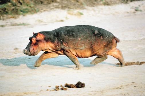 カバ「Hippo walking on beach」:スマホ壁紙(3)