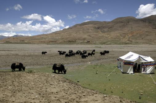 Yak「China, Tibet, Himalaya, Yaks」:スマホ壁紙(12)
