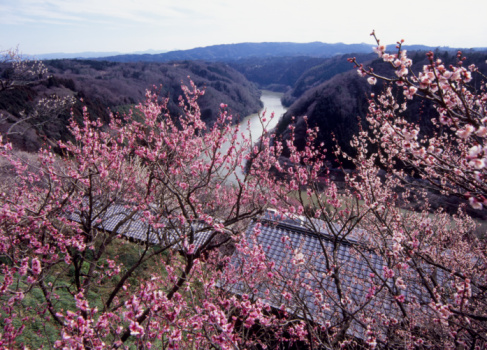 梅の花「Tsukigase Plum Valley, Nara, Nara, Japan」:スマホ壁紙(12)