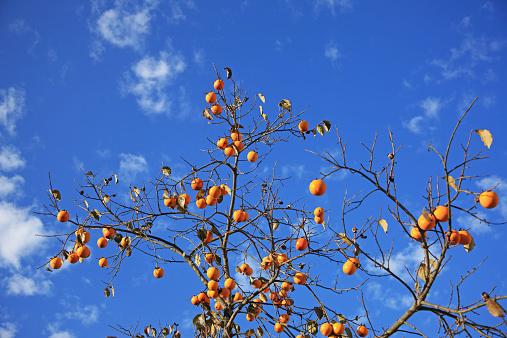 柿の木「Kaki fruits」:スマホ壁紙(6)