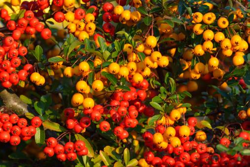 Rowanberry「Red and Orange Rowanberries Bush」:スマホ壁紙(3)