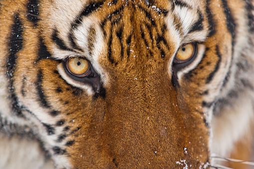 Eyesight「Amur tiger is looking at the camera」:スマホ壁紙(19)