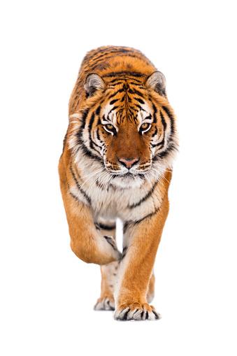 Tiger「Amur tiger is walking towards the camera on isolated background」:スマホ壁紙(11)