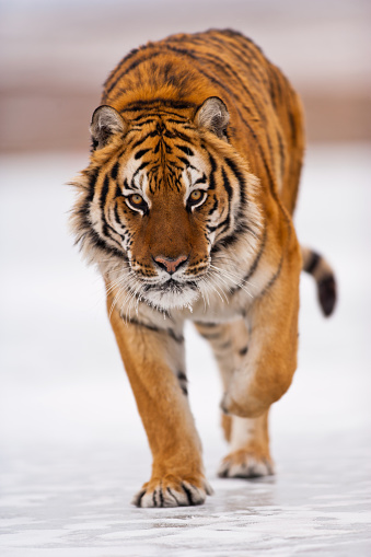 Walking「Amur tiger is walking towards the camera」:スマホ壁紙(7)
