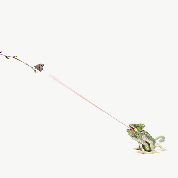 chameleon sticking out tongue to catch butterfly:スマホ壁紙(壁紙.com)