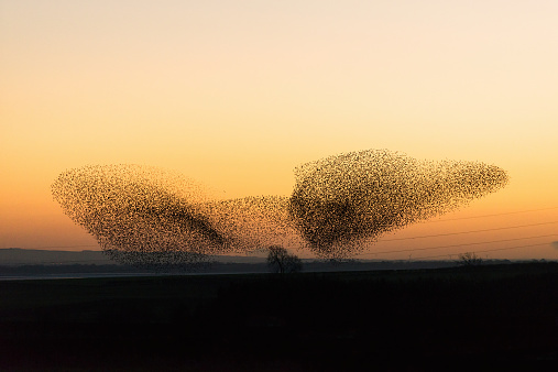 Flock Of Birds「Large murmuration of starlings at dusk」:スマホ壁紙(7)