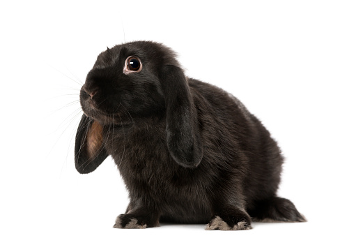 Baby Rabbit「Black rabbit (5 months old)」:スマホ壁紙(10)