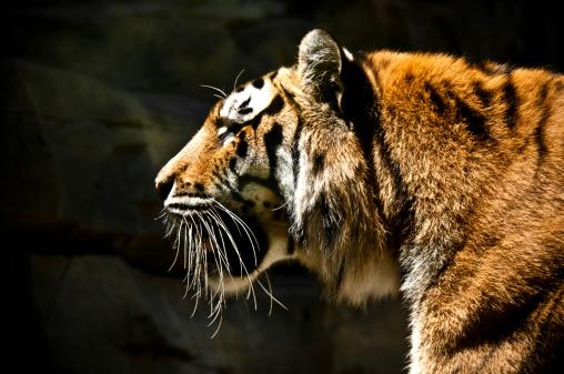 Animals Hunting「Profile Portrait of a Large Bengal Tiger」:スマホ壁紙(17)