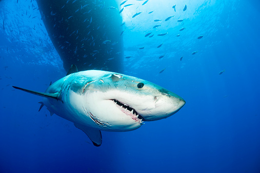 Animal Teeth「Mexico, Guadalupe, Pacific Ocean, portrait of white shark, Carcharodon carcharias」:スマホ壁紙(16)