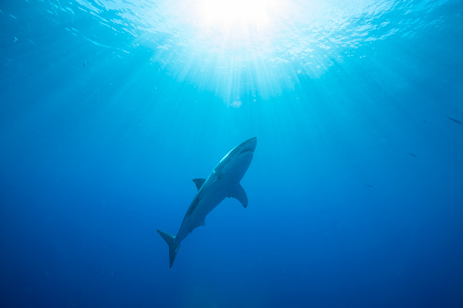 Central America「Mexico, Guadalupe, Pacific Ocean, white shark, Carcharodon carcharias」:スマホ壁紙(18)