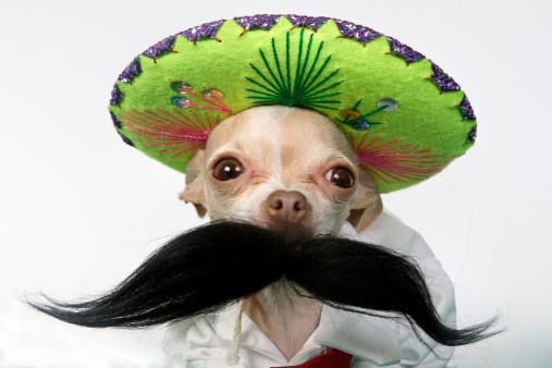 Chihuahua - Dog「charro」:スマホ壁紙(10)