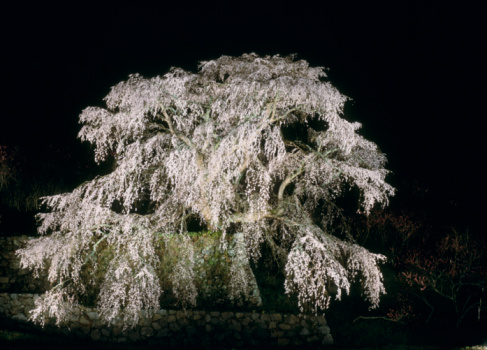 Cherry Blossom「Matabei Cherry at Night, Uda, Nara, Japan」:スマホ壁紙(2)
