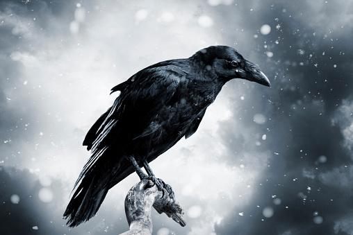 Bird「Raven」:スマホ壁紙(18)