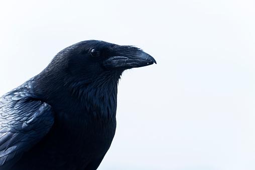 Beak「Raven」:スマホ壁紙(14)
