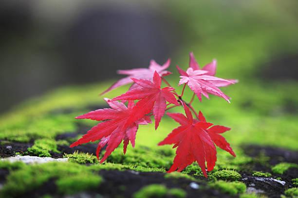 Fallen Japanese maple leaves on moss, Nara Prefecture, Honshu, Japan:スマホ壁紙(壁紙.com)