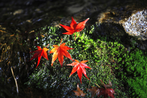 Japanese Maple「Fallen Japanese maple leaves on moss, Kyoto Prefecture, Honshu, Japan」:スマホ壁紙(9)