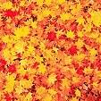 Autumn leaves壁紙の画像(壁紙.com)