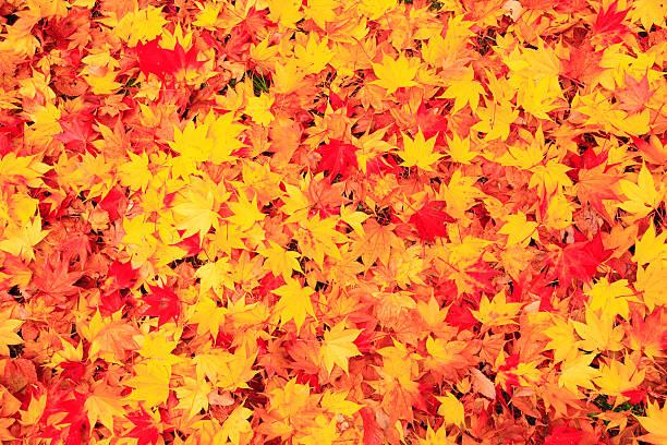 Fallen Japanese maple leaves:スマホ壁紙(壁紙.com)