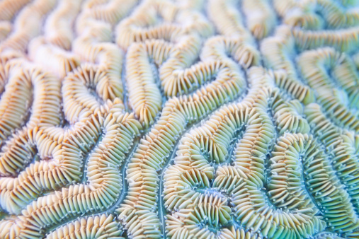 Extreme Close-Up「Grooved Brain Coral Background - Diploria labyrinthiformis」:スマホ壁紙(16)