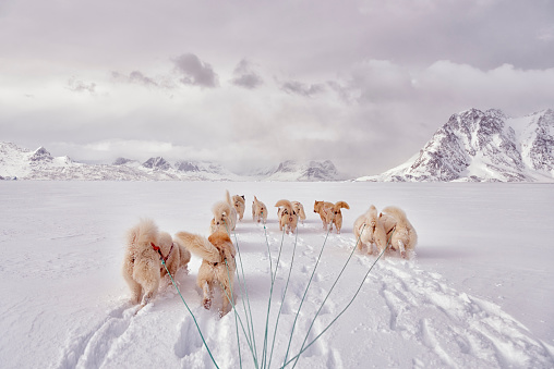 Dogsledding「greenland, Schweizerland Alps, huskies」:スマホ壁紙(15)