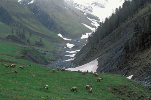 Engadin Valley「Alpine ibex on mountain pasture, Grisons, Switzerland」:スマホ壁紙(13)
