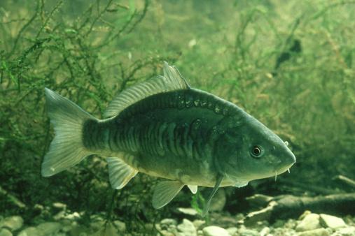 Carp「mirror carp, cyprinus carpio, cotswold carp farm」:スマホ壁紙(13)