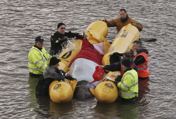 Lost「Rescue Operation Aids Stranded Whale In River Thames」:写真・画像(19)[壁紙.com]