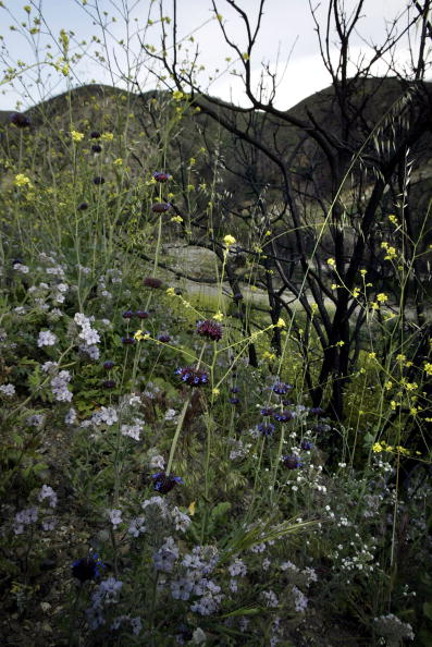 David McNew「Despite Wildfire Damage Wildflowers Begin To Bloom In California」:写真・画像(2)[壁紙.com]