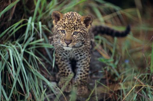 Animal Whisker「Leopard cub (Panthera pardus) in long grass, Kenya」:スマホ壁紙(18)