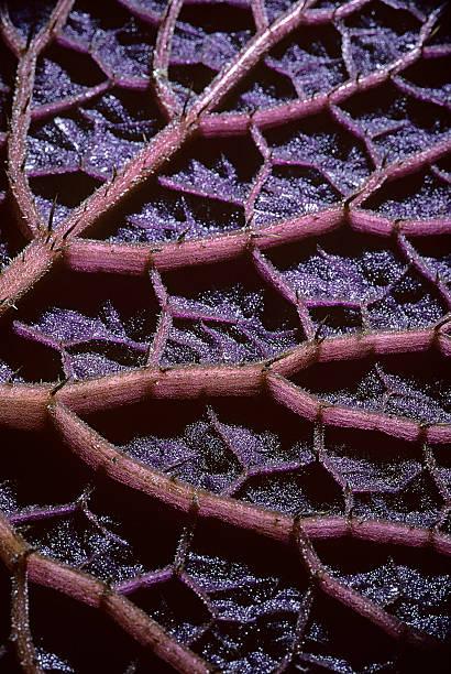 Euryale ferox (prickly water lily, fox nut, makhana, gorgon plant) - underside of leaf:スマホ壁紙(壁紙.com)