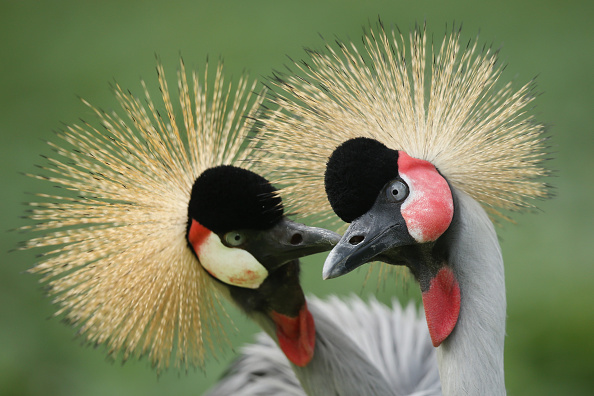 Beak「The Grey Crowned Crane At Berlin Zoo」:写真・画像(16)[壁紙.com]