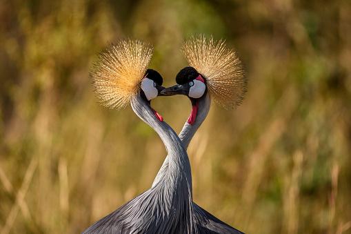 バレンタインデー「Two grey crowned cranes has neck like heart shape」:スマホ壁紙(17)