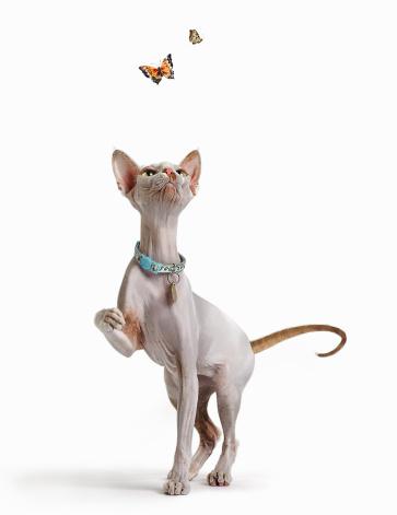 Purebred Cat「Hairless Cat and Butterflies」:スマホ壁紙(15)