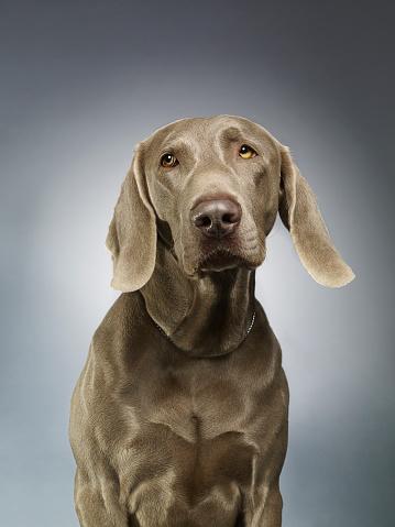 Loyalty「Weimerarner Dog」:スマホ壁紙(17)
