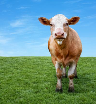 Cow「Cow on green field with copyspace」:スマホ壁紙(11)