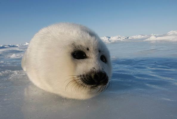 可愛らしい「Canada Raises Quota For Controversial Seal Hunt」:写真・画像(10)[壁紙.com]
