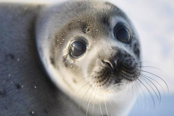 動物「Canada Raises Quota For Controversial Seal Hunt」:写真・画像(14)[壁紙.com]
