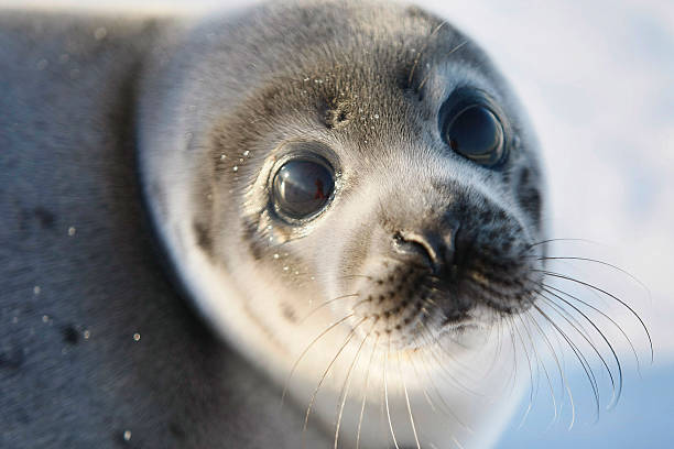 Canada Raises Quota For Controversial Seal Hunt:ニュース(壁紙.com)