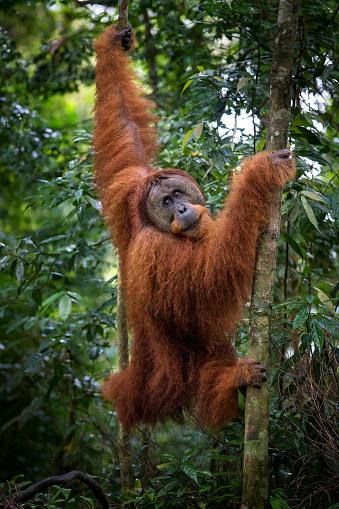 Walking「Male Sumatran orangutan (Pongo abelii) walking in forest」:スマホ壁紙(6)