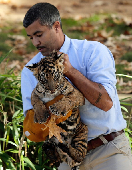 Shallow「Sumatran Tiger Cubs At National Zoo Learn To Swim」:写真・画像(8)[壁紙.com]
