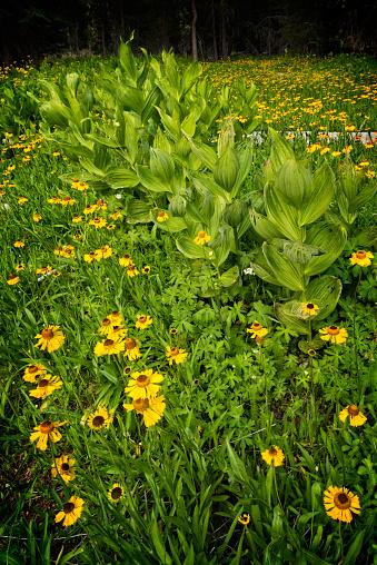 Corn Lilly「Summer wildflowers and corn lilies」:スマホ壁紙(16)
