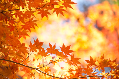 Japanese Maple「Vibrant Autumn Color」:スマホ壁紙(4)