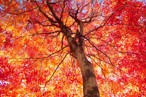 Japanese Maple「Vibrant Autumn Color」:スマホ壁紙(10)
